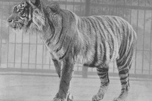 Meski dinyatakan punah, Harimau Jawa masih diyakini eksistensinya