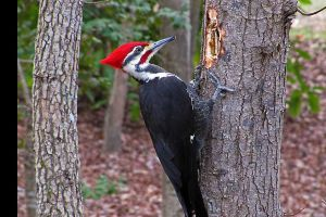 6 Alasan paling logis mengapa burung Woodpecker harus mematuk kayu