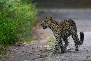 Macan Tutul Jawa, kucing besar terakhir Tanah Jawa yang masih bertahan