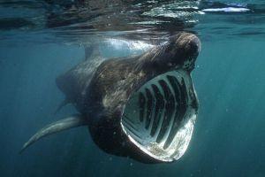 Inilah 5 fakta unik dan menarik mengenai Basking Shark