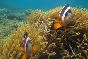 Nikmati aksi menarik dari 6 jenis Nemo di Pantai Kalasey, Minahasa