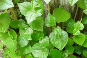 5 Manfaat tanaman suruhan bagi kesehatan dan cara mengolahnya