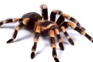 10 Laba-laba paling mematikan di dunia ini perlu diwaspadai