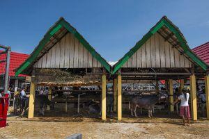 Pasa' Tedong Toraja hasilkan transaksi Rp1 miliar per hari