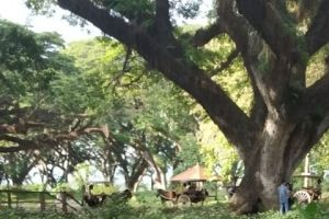 5 Keunikan yang dapat kamu temukan di De Djawatan Benculuk Banyuwangi