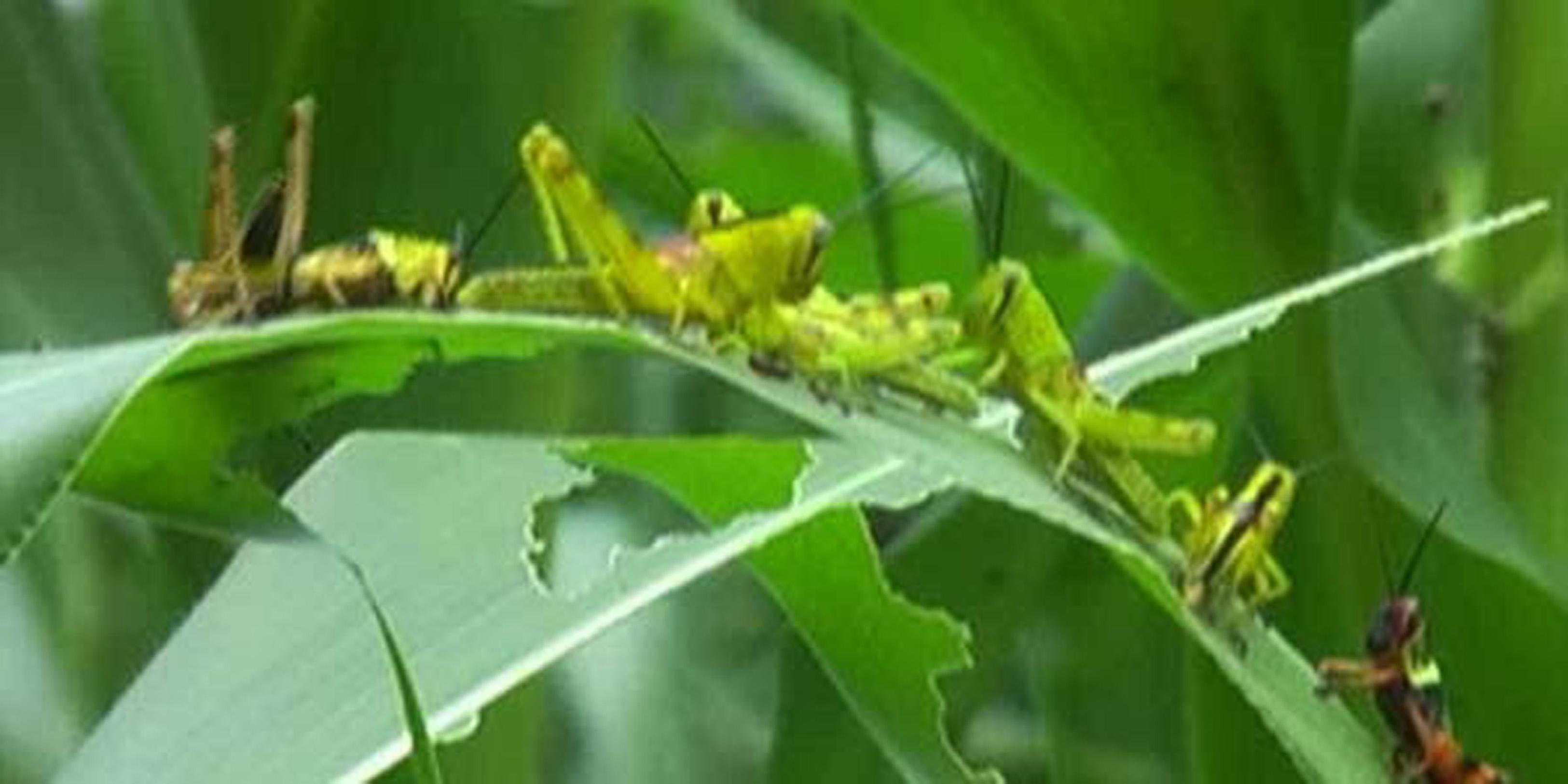 5 Manfaat kesehatan jika kamu doyan konsumsi belalang