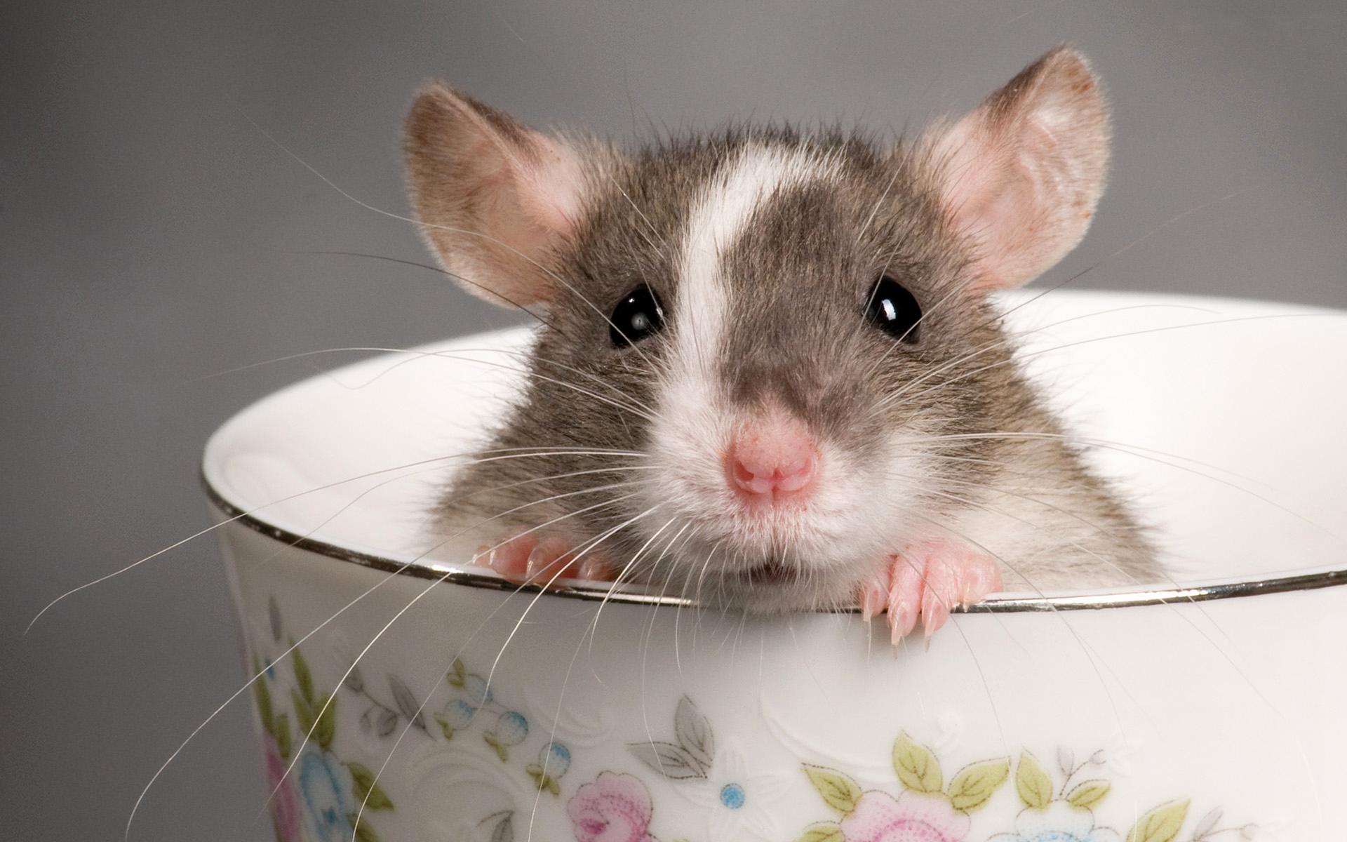 10 Bukti kenapa tikus juga bisa jadi peliharaan yang menggemaskan