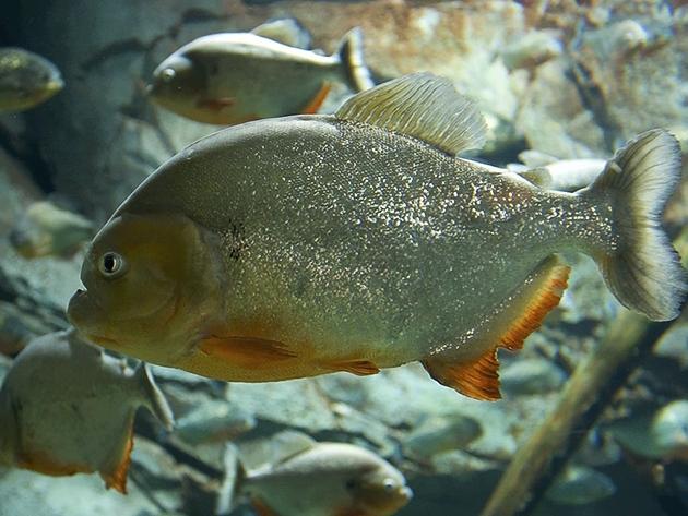 Inilah 10 Ikan Air Tawar Terganas Di Dunia