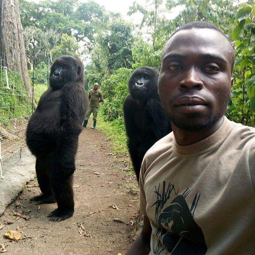 Bergaya narsis, penjaga ini berswafoto bareng gorilla di Kongo