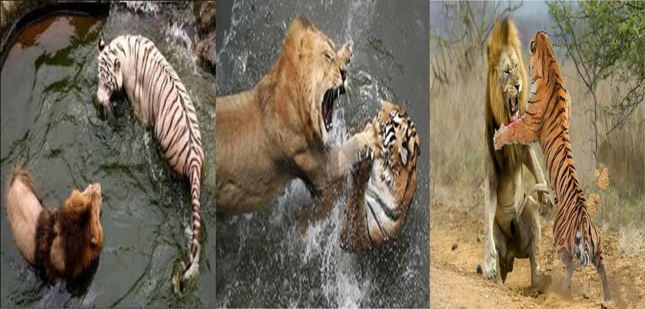 Harimau vs singa, siapa pemenangnya menurut peneliti dan