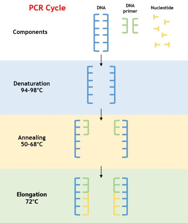 Polymerase Chain Reaction, proses dan manfaatnya bagi manusia