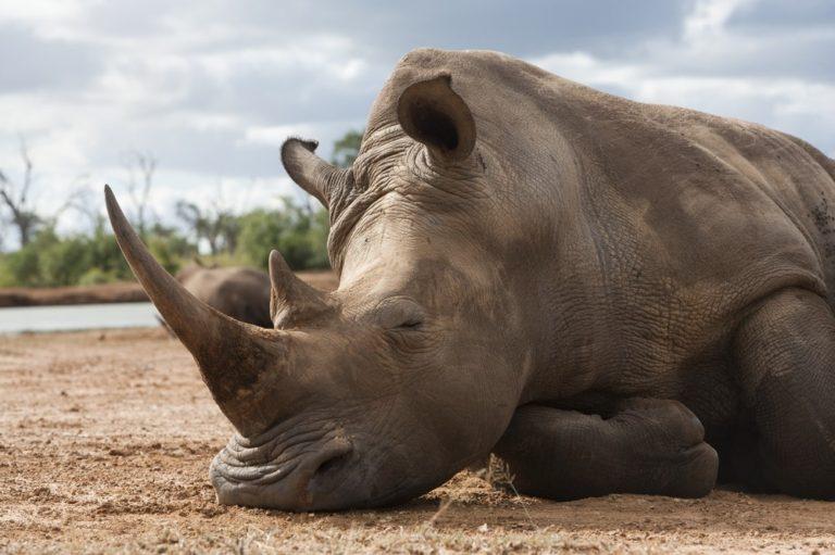 Hari Badak Sedunia, ini 5 spesies badak yang masih ada di dunia