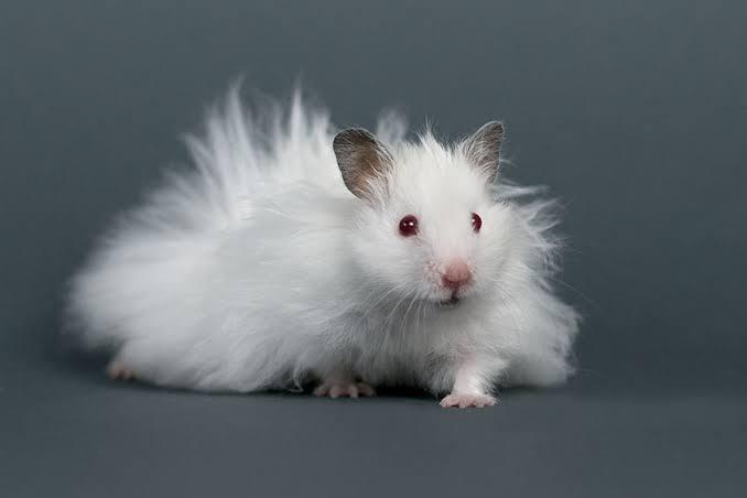 5 Tips perawatan hamster syrian long hair