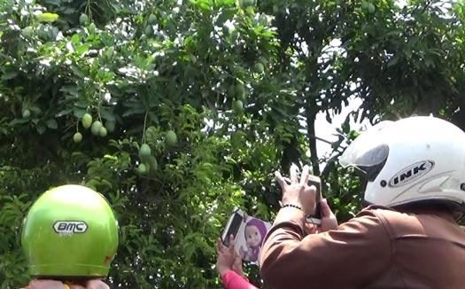 Sulit dipercaya, pohon mangga ini berbuah mengkudu