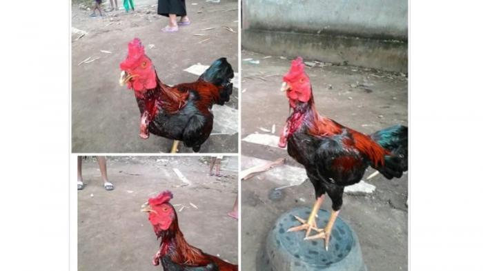 Kisah 7 ayam yang tetap bertahan hidup meski telah disembelih