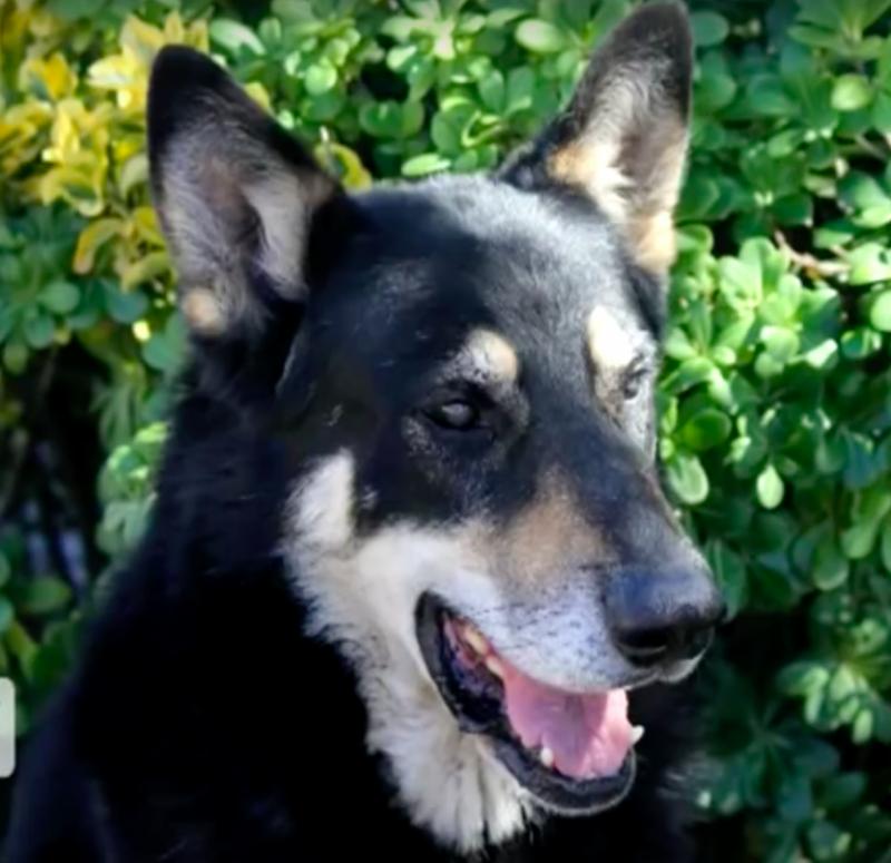 Anjing ini setia menunggu di kuburan pemiliknya hingga 11 tahun