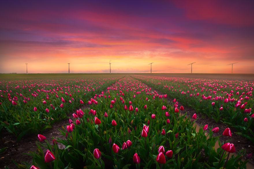 9 Potret keindahan tulip di subuh hari, bikin pengen segera ke sana