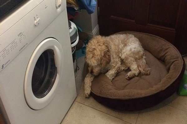 Masuk mesin pengering, nyawa bocah ini diselamatkan seekor anjing