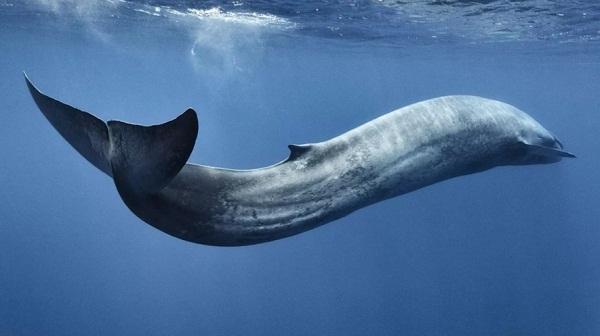 Fakta paus biru, hewan mamalia terbesar yang ada di muka bumi
