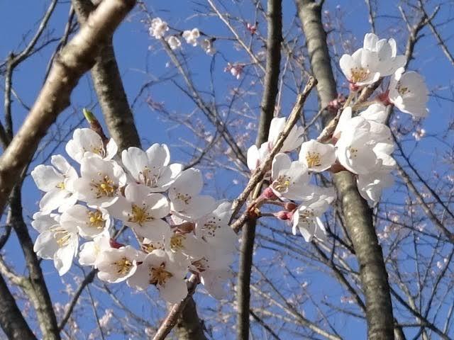 6 Jenis bunga sakura ini mekar awal musim semi di Jepang