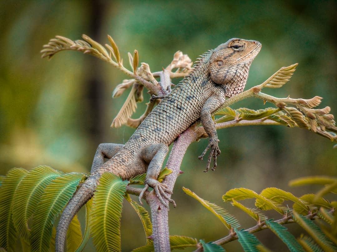 Londok Bunglon Lokal Yang Sering Keliru Dianggap Iguana