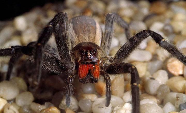 laba laba berbisa mematikan brazilian wandering spider