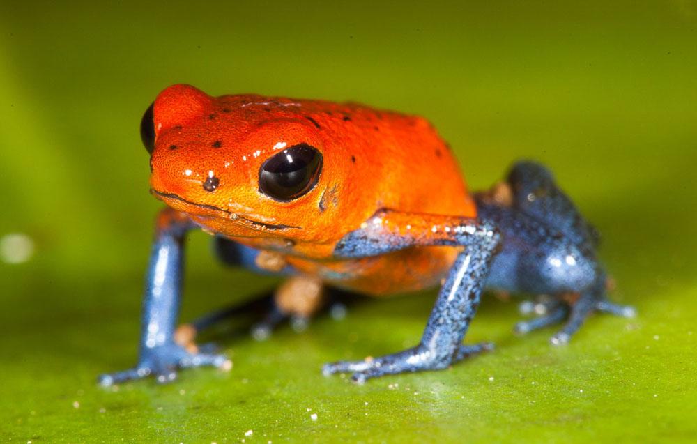 Poison Dart Frog, memiliki kulit berbisa dan mampu mematikan 20 ribu ekor tikus
