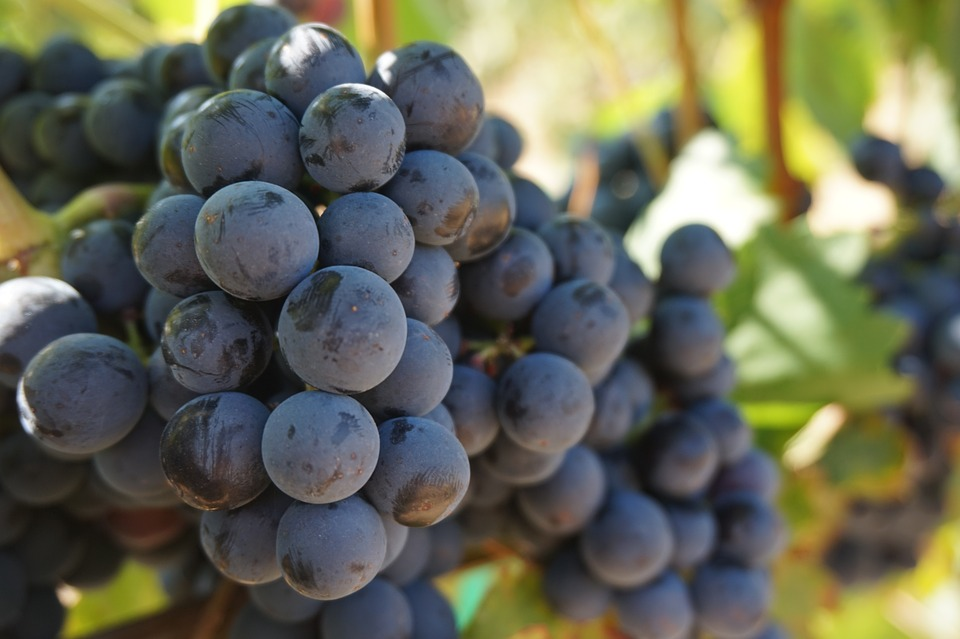anggur https://pixabay.com/photos/grapes-vine-grape-vine-wine-908757/