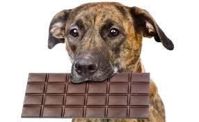 Anjing dan Cokelat