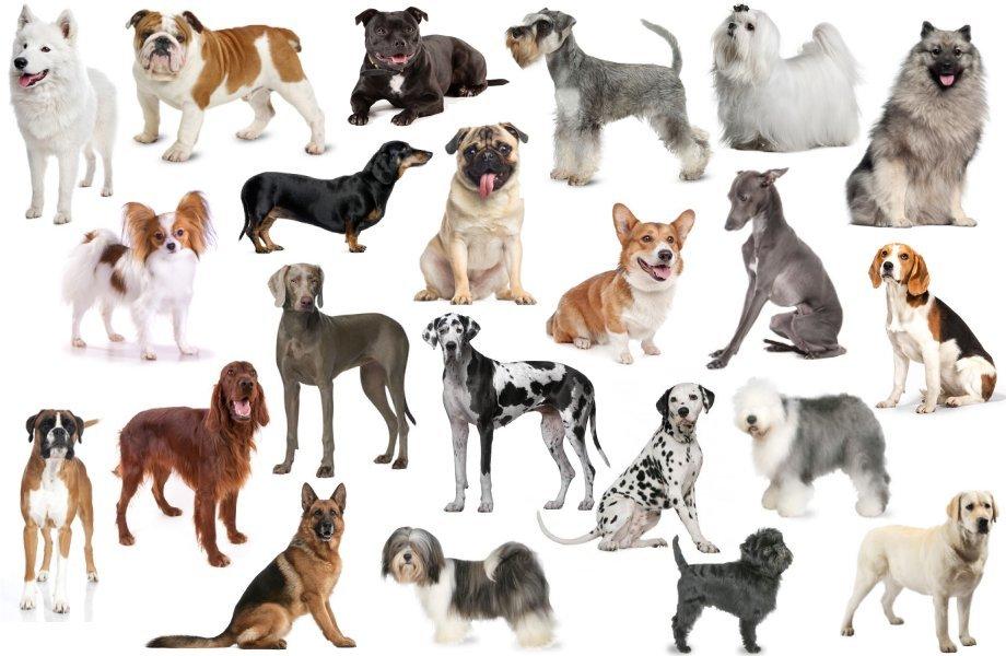 Macam breed pada anjing
