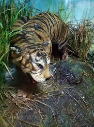Gambar 4. Awetan harimau bali di Museum Zoologi Bogor