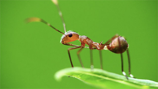 6 Fakta keren semut, tak terluka meski dilempar dari ketinggian