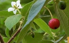 Sering dianggap remeh, ini 5 manfaat buah Kersen bagi kesehatan