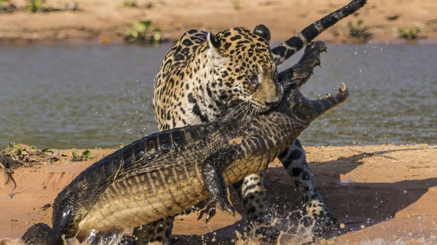Source Image : www.roaring.earth/jaguar-attacks-crocodile/