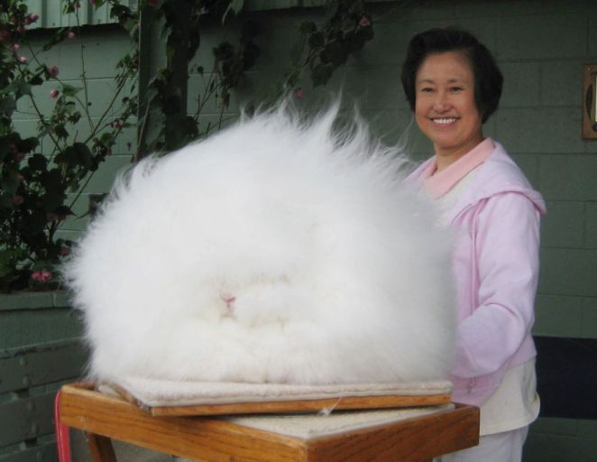 Image Credit :  www.heartofahorse.org/category/facebook/most-popular/page/18/totallywarm.co.uk/blog/2013/10/10/what-is-angora-wool/