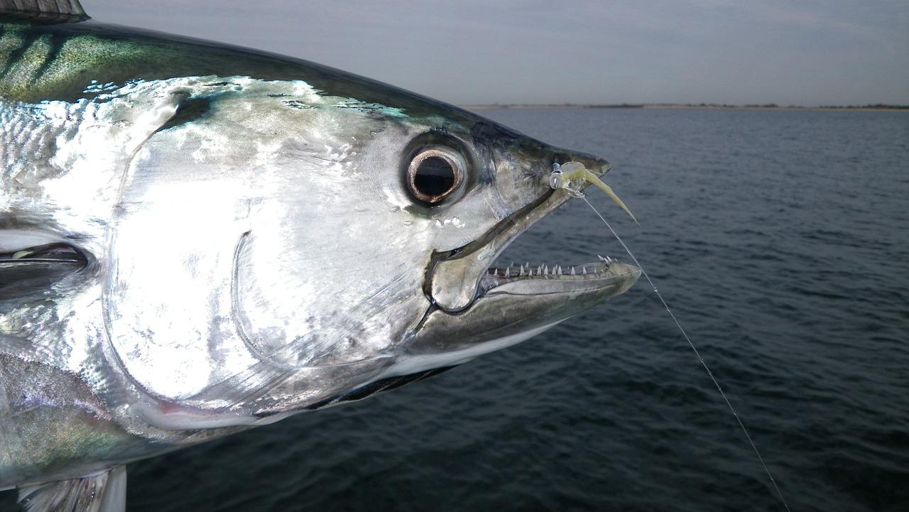 8 Khasiat Ikan Tongkol Salah Satunya Bagus Buat Diet