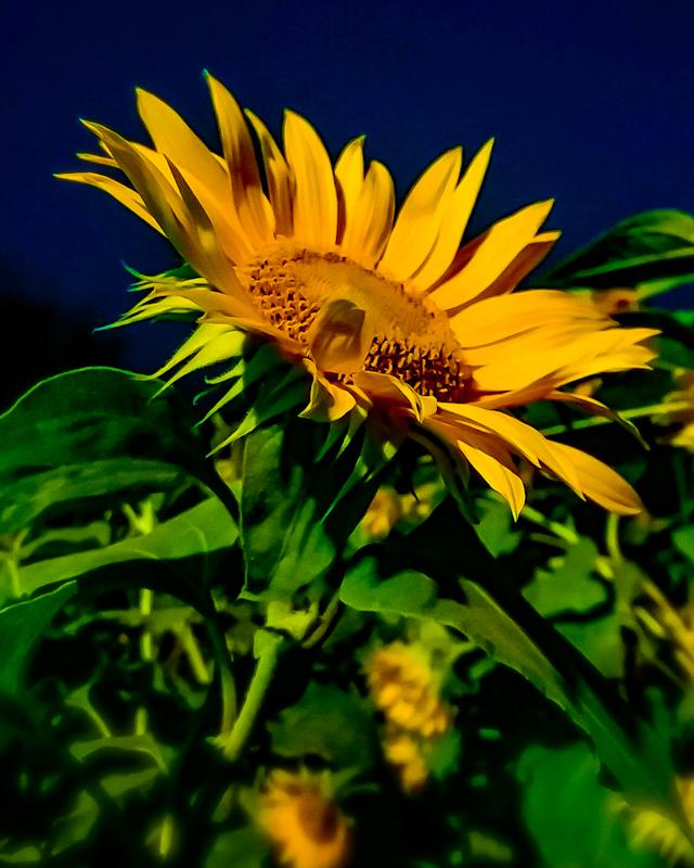 Bunga matahari di tengah gurun.