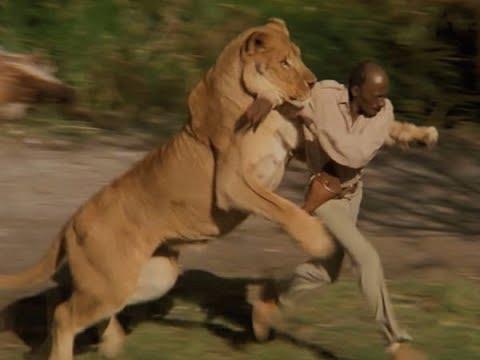 Pemburu ilegal dibunuh kawanan singa, hanya sisakan kepalanya