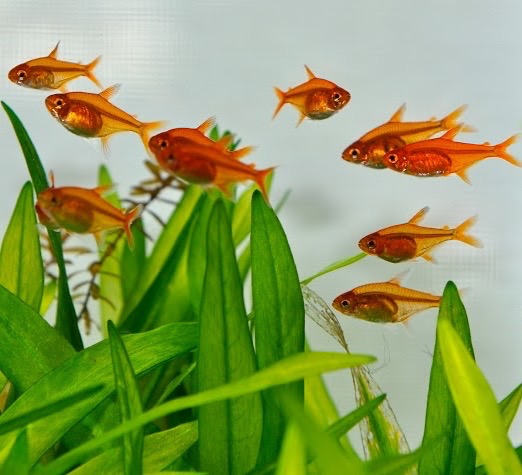 5 Ikan Ini Bisa Dijadikan Sebagai Teman Cupang Dalam Akuarium