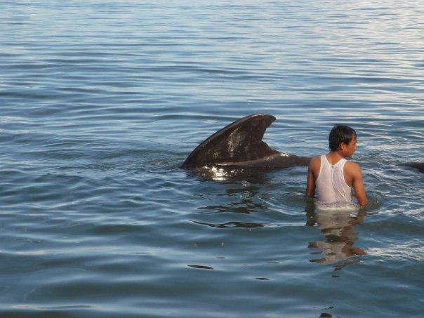 Saat salah satu Pilot Whale yang terdampar di area Pantai Manado - Meras. (james mamoto)