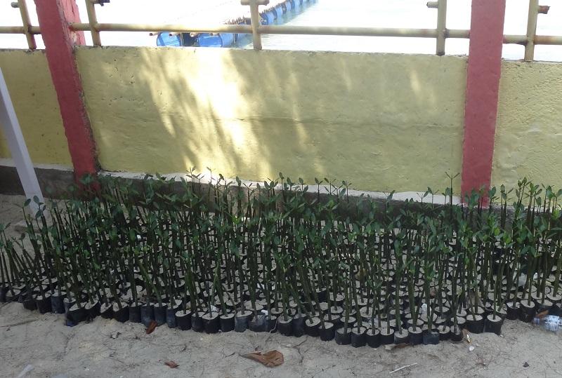 bibit mangrove di pulau kelapa dua