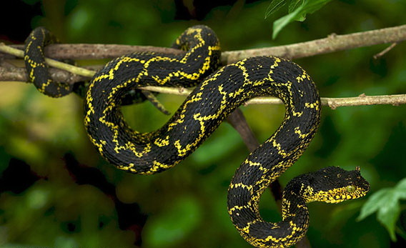 Image Source : https://www.nationalgeographic.com/news/2011/12/111230-snakes-horned-vipers-tanzania-secret-animals-science