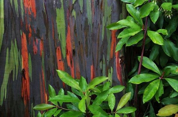 Pelangi Rainbow Eucalyptus Deglupta