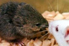 Fakta unik: Tikus jantan nyatakan cintanya ke betina lewat lagu cinta!