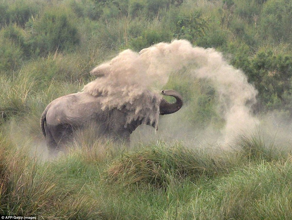 Mandi debu, cara gajah lindungi kulit dan lawan gigitan serangga
