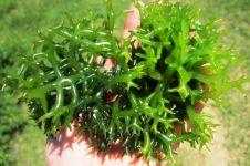 Tak cuma enak dimakan, rumput laut bisa mencegah kanker