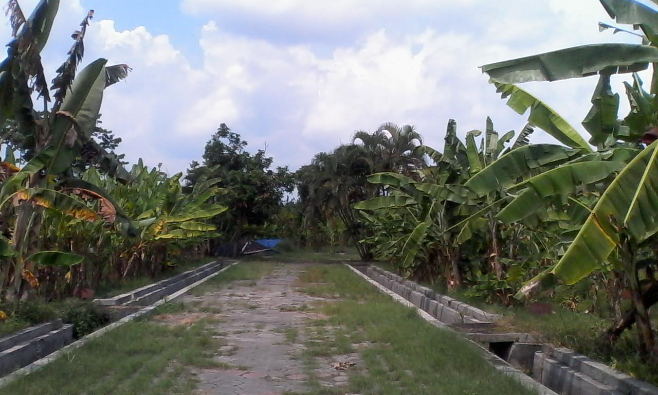 Terlengkap se-Asia Tenggara, kebun pisang di Jogja tanam 346 jenis