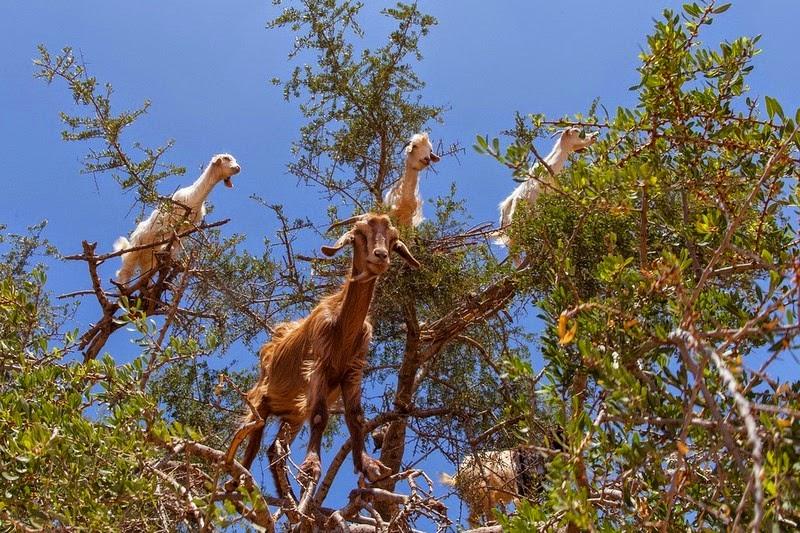 Ajaib, ada pohon 'berbuah' kambing