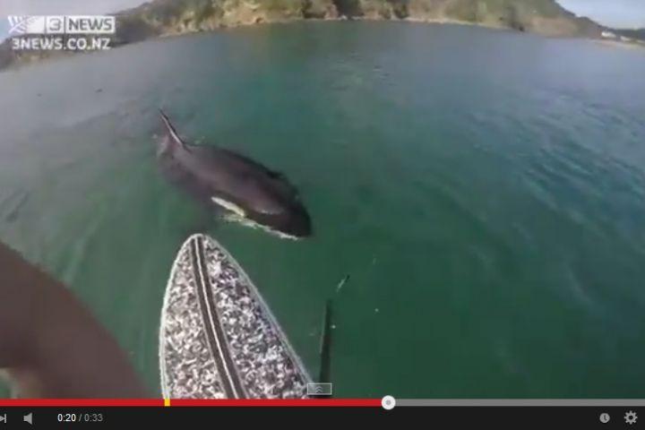VIDEO: Pemuda dibuntuti paus predator saat berselancar