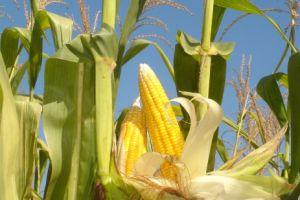 Selain dibikin bakwan, jagung juga bisa bikin kulit wajahmu kinclong